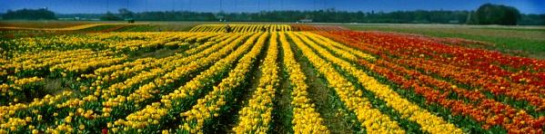 Tulipes convergentes47.jpg