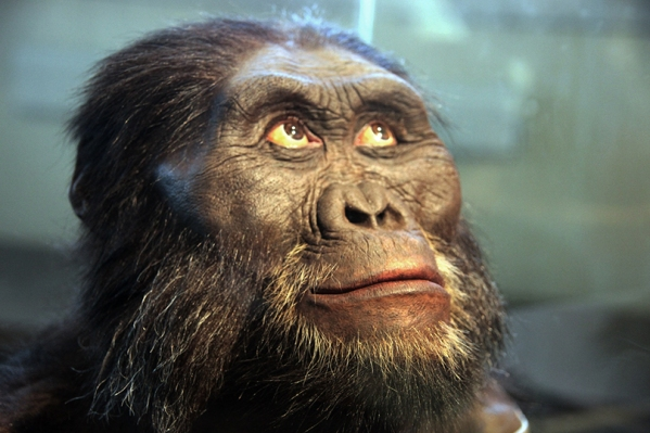 Australopithecus_afarensis_adult_male_-_head_model_-_Smithsonian_Museum_of_Natural_History_-_2012-05-17.jpg
