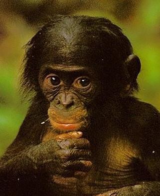 bonobo-bebe.jpg