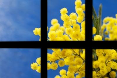 Fenêtre au mimosa1.jpg
