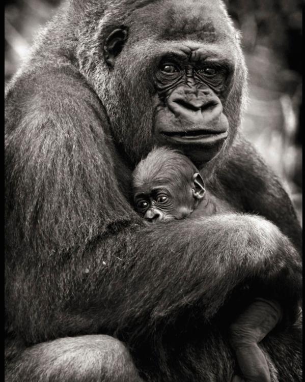 Maman Gorille.jpg