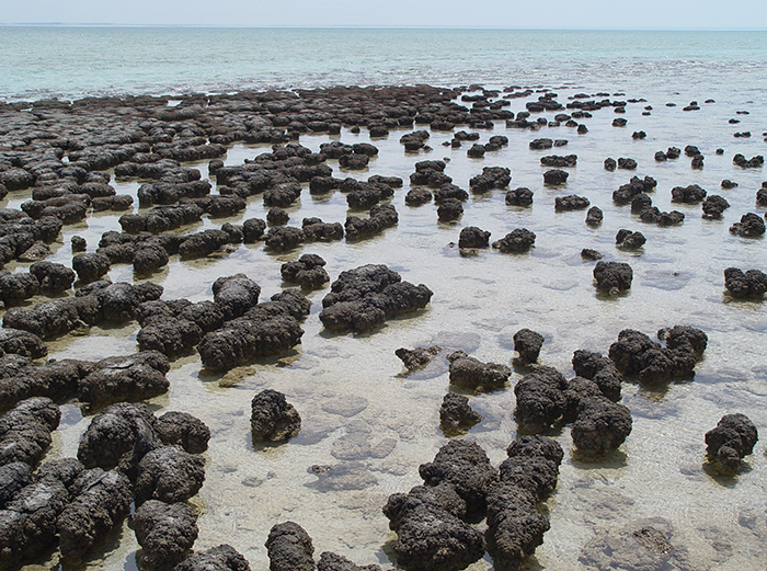 Stromatolites_in_Sharkbay (249 sur 332) copie