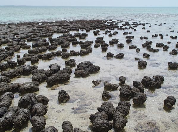 Stromatolites_in_Sharkbay (249 sur 332) copie